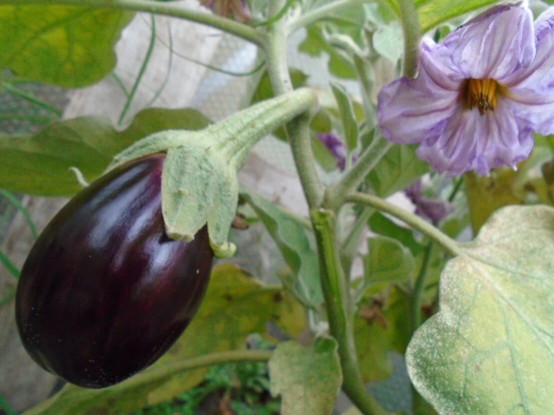 Organic Vegetable Plants - Growers Organics