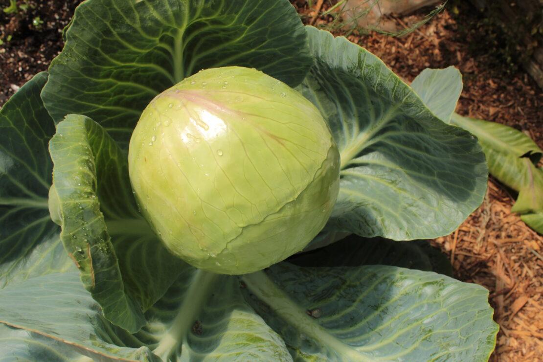 Organic Vegetable Plants at Growers Organics Nursery, Kitley Farm, Yealmpton Devon